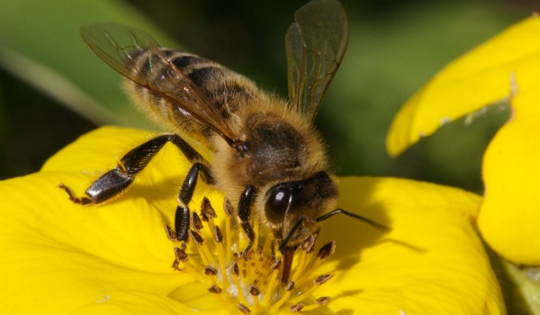 abeja en flor amarilla 600-350