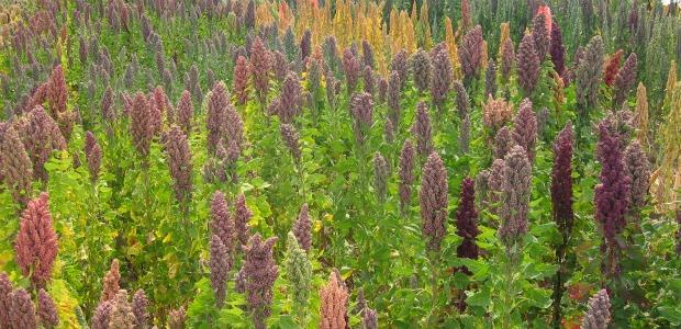 Chenopodium_quinoa_Lake_Titicaca 620-300
