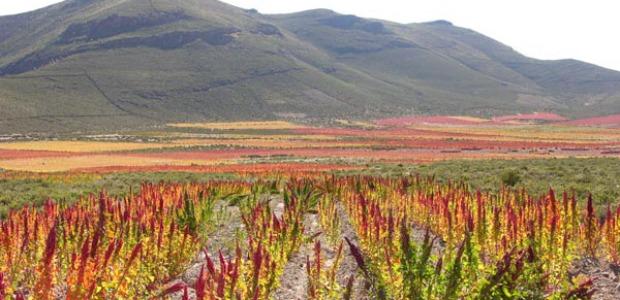 Champ de quinoa à Ayllu de Tunupa, département d'Oruro