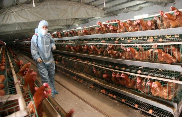fabrica de pollos 620+400