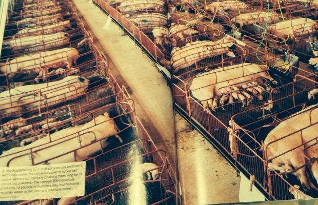 nat geo cerdos 620-400