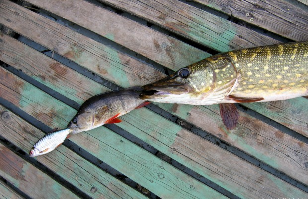 cadena alimenticia peces 620+400