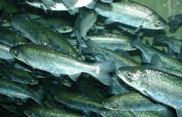 Chinook_salmon nadando 620+400