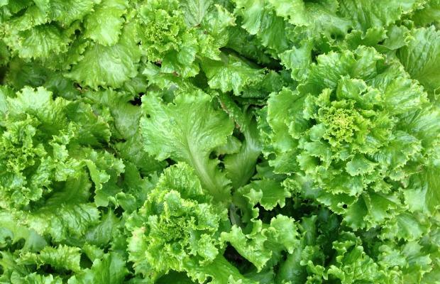 lettuce 620+400