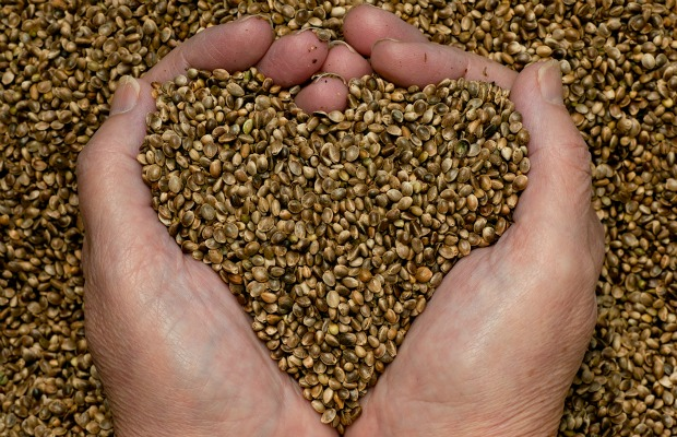hemp-seeds-hands heart 620+400