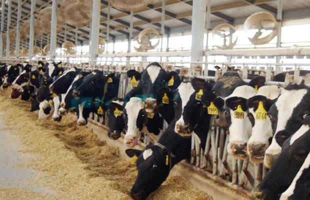 vacas estabuladas comiendo 620+400